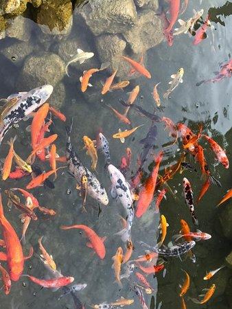 O zaman günün sorusu gelsin 👊 Midtown ile özleşmiş Koi Balıklarımızın şuanki yerini kimler biliyor? Cevapları yoruma alalım.  Koi, akıntıların tersine doğru yüzmesiyle bilinen bir tatlı su balığıdır. Donuk griden parlak renklerine kadar pek çok farklı şekilde bulunabilir. İsminin anlamı, Japoncada tutku ve aşk kelimelerinin kökünden gelmektedir.