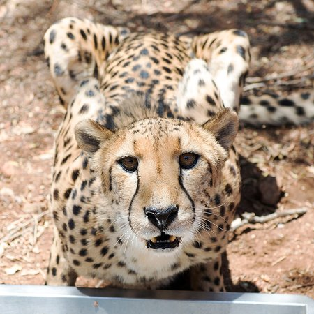 Exclusive Private Cheetah Centre Tour: Just stunning!