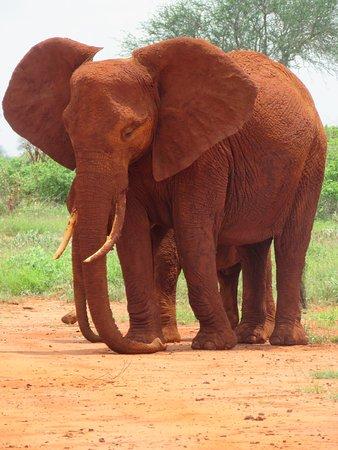 De rood gekleurde olifanten blijven prachtig om te zien. Hier kan ik uren naar kijken en van genieten