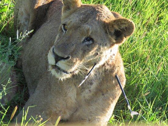 Heel apart om een gewonde leeuw mee te maken. Hij had gevochten met een stekelvarken. Onze chauffeur heeft meteen de coördinaten aan de parkwacht doorgegeven zodat ze hem kunnen verlossen van deze pijnlijke stekels