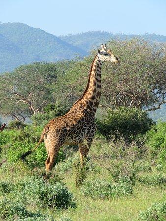 Giraffen altijd wel te zien