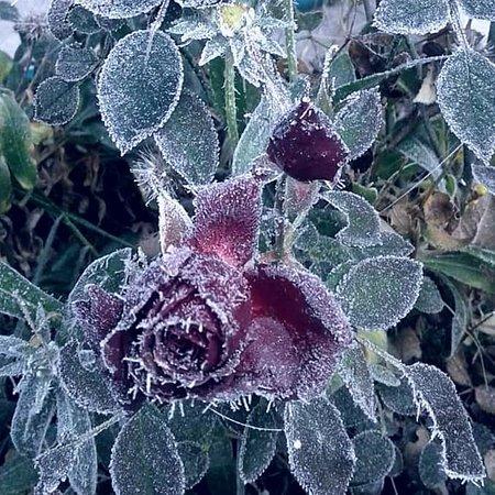 Gornji Klakar, Bosnia-Herzegovina: Ruža i inje, mraz u mom dvorištu, prije dvije godine na današnji dan.