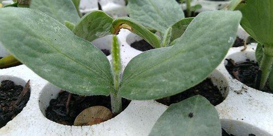 Germoglio di Zucca da semenzaio proprio