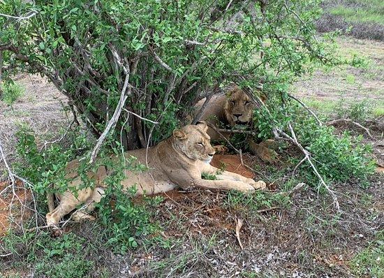 וואטאמו, קניה: coppia di leoni
