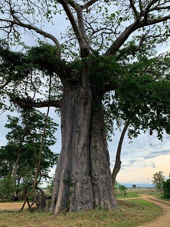 Tanzánia: Баобаб