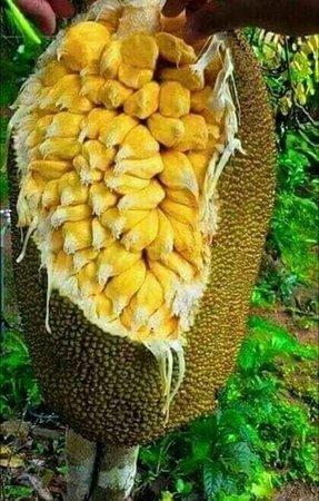 Jackfruit welcome