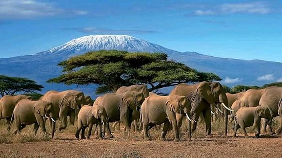 Amboseli national park, where you will have a clear view of the snow caped mountain mount kilimanjaro.#come visit kenya and taste the experience. #bufallo safaris we will take you there. #jambo kenya. #Hakuna matata.