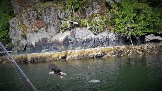 This fellow grabbed a fish for dinner right beside a local boat. Common sight when out on the Alberni Inlet