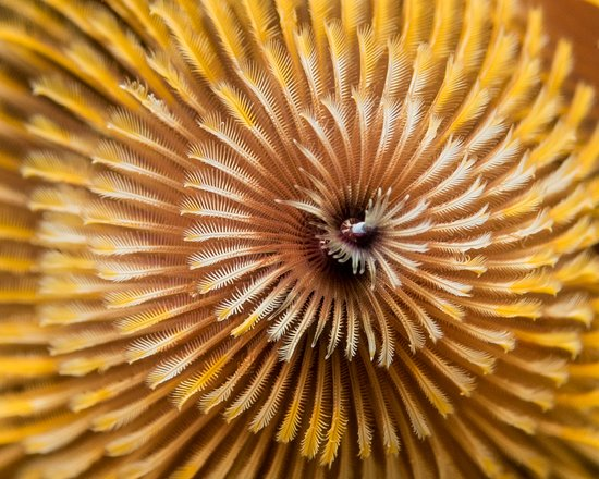 Christmas Tree Worm by Alexandra HG Photography