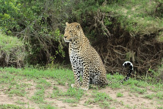 Leopard scanning  the plains
