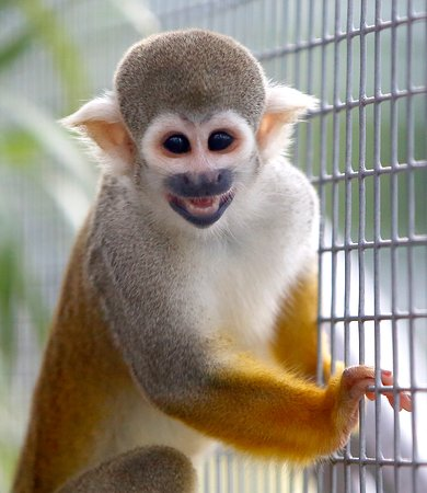 Rico the squirrel monkey enjoying his almost wild life!