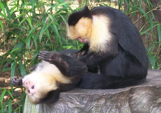 Lily and Tabitha two of our white faced capuchins enjoying their almost wild life together!
