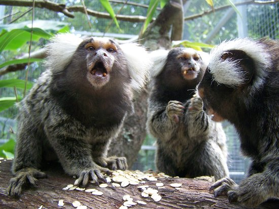 Our marmosets Gizmo, Arnold, and Arnie celebrating their monkey friendship over snacks!