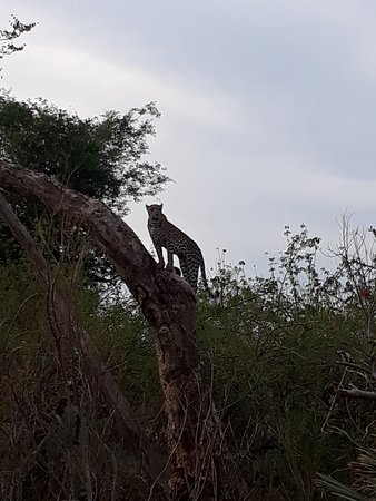 A Leopard making its way up a tree to finish eating its kill