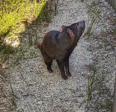 Tasmanian Devil at the refuge on Saffire's grounds