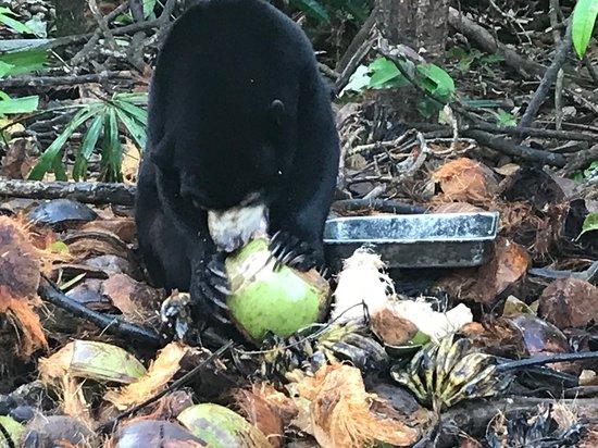 Chi Phat, Cambodja: Sun bear eating coconut