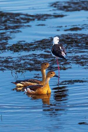 Yala National Park, Srí Lanka: Lesser Whistling Duck
