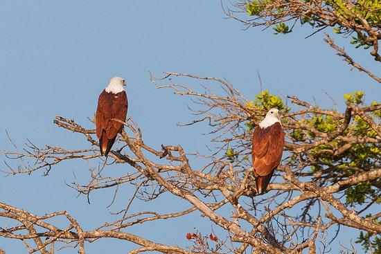 Yala National Park, Srí Lanka: Brahminy Kite