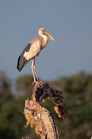 Yala National Park, Srí Lanka: Asian Openbill