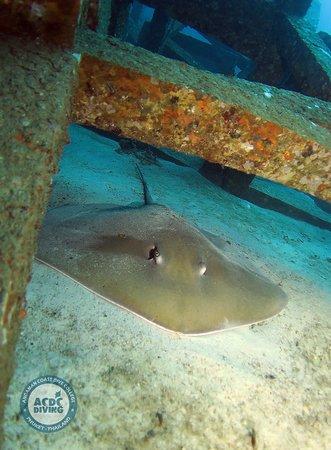 Скат Дженкинс Рэй на острове Рача Яй  Дайв-центр на Пхукете ACDC Diving