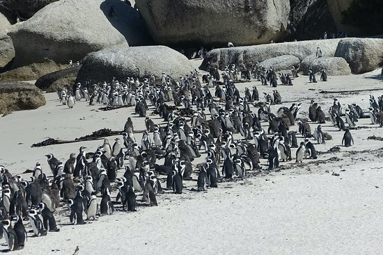 Private Sightseeing Trip to the Cape of Good Hope and Boulders Penguin Colony: Penguin colony.