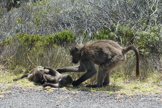Private Sightseeing Trip to the Cape of Good Hope and Boulders Penguin Colony: Baboons playing by the roadside.