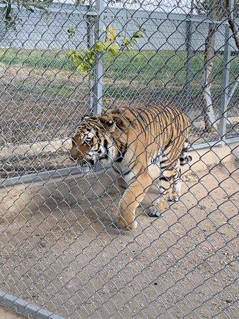 тигр совсем рядом
