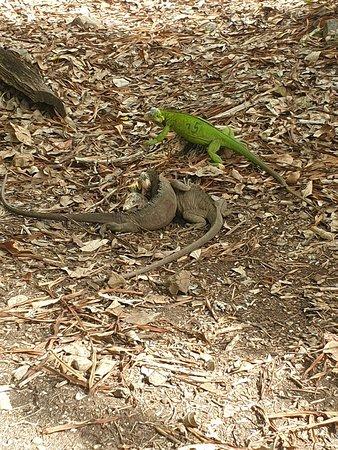 iguane male et femelle a l ilet chancel