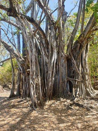 ficus d ou le nom arbre etrangleur ou figuier maudit