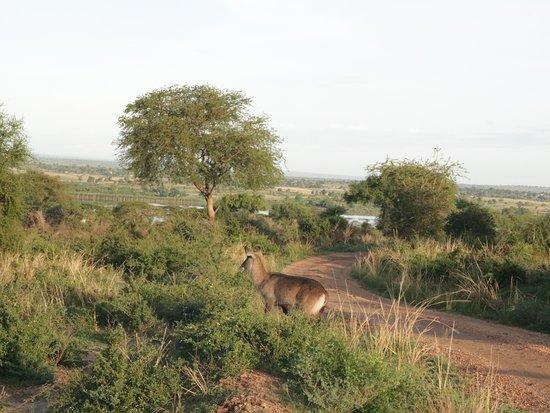 Waterbuck in Murchison wildlife reserve
