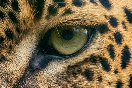 Leopard Eye Safari