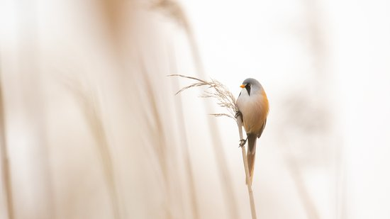The Bearded Reedling is one of the most beautiful birds we can see during our tours in Switzerland.