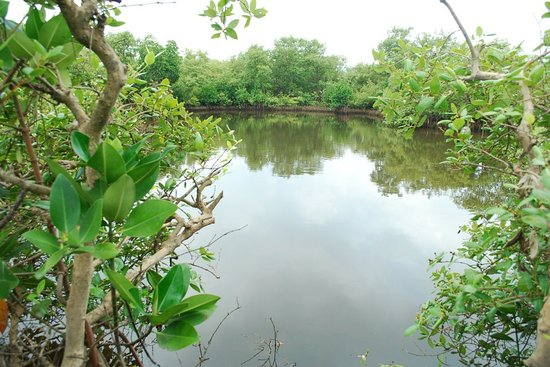 Nos Mangues: Calicut Mangrove Trail by Tyndis: Inside the marshy waters