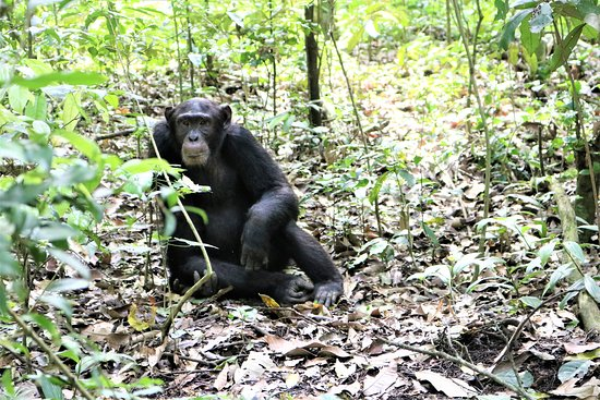 Chimpanzee in the forest at Kibale Park in west Uganda