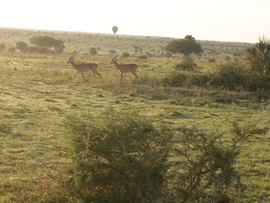 Antelopes in Queen Elizabeth conservation park