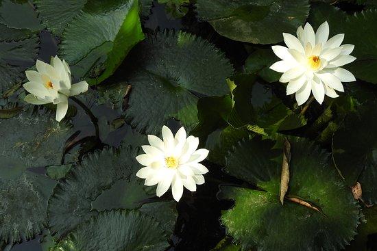 Lovely Lily pond