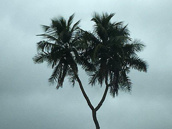 3 Headed Coconut Tongatapu Island, Tonga