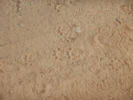 ジャガ―の足跡