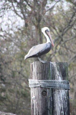 Patterson, LA: Pelican near locks