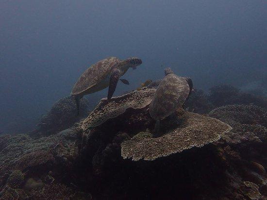 Labuan Bajo, Indonesia: Turtles are everywhere in Komodo