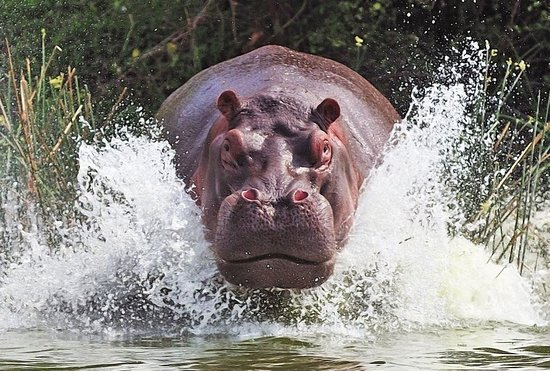 Национальный парк Катави, Танзания: Distance is the key for a responsible sightseeing. Hippos are one of the species which can be easily disturbed and get very aggressive.