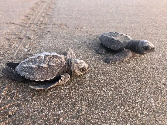 ‪‪Jiquilillo‬, ניקרגואה: Olive Ridley Sea turtles about to start their journey. I was actually there and this is not a stock photo.‬
