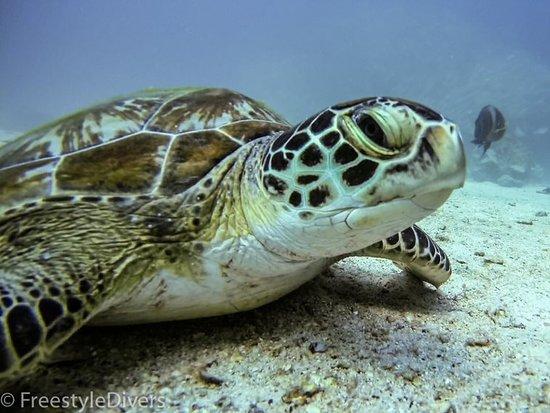 Green turtle on Dibba Rock.