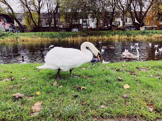 Cigno presso il Royal Canal - Drumcondra, Dublino, Novembre 2019