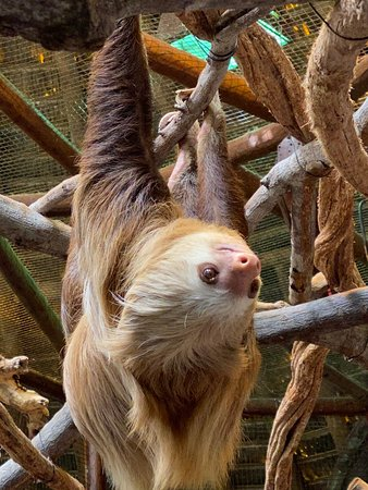 8-Day Tour: Jewels of Costa Rica: 3-toed sloth at La Paz Waterfall Gardens