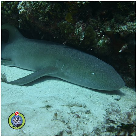Did ypu know this about the Nurse Shark? 🦈🤔  💧Nurse shark can reach 7.5 to 14 feet in length and 200 to 330 pounds of weight.  💧They have grey-brown skin that is, atypical for sharks, smooth.  💧They have broad head with small mouth and prominent barbels, round dorsal and pectoral fins and very long tail fin (1/4 of the body length).  💧Nurse shark has strong jaws filled with thousands of small, serrated teeth.  💧They are active during the night.. It rests during the day.
