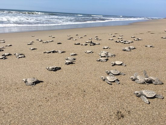 The Turtle Sanctuary Experience from Mazatlan: Lots of baby turtles heading to the ocean!