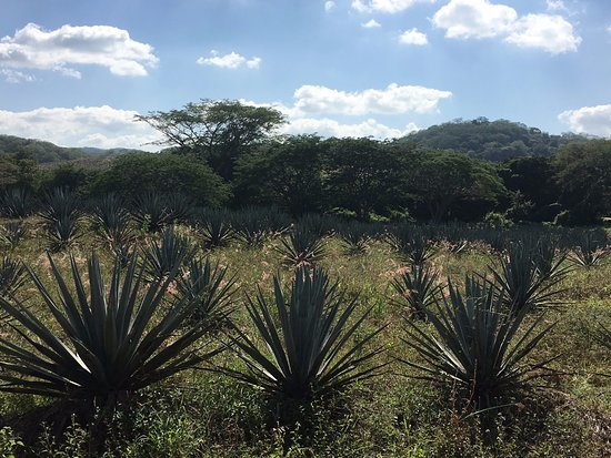 The Turtle Sanctuary Experience from Mazatlan: Agave Plants