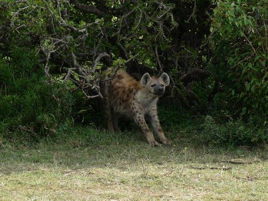 Hyena Masai Mara