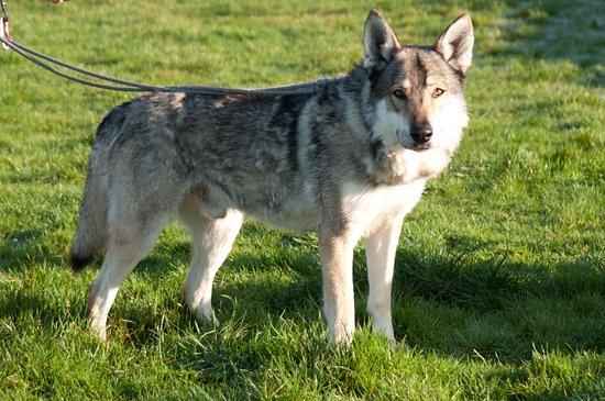 Ayside, UK: A wolf